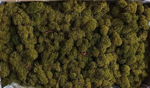 Licheni Olive Green Polar [0]