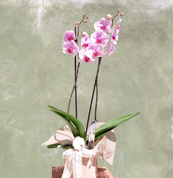 Wilde Orchid 0