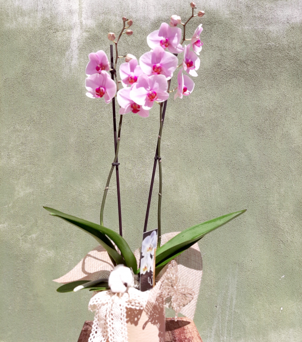 Wilde Orchid 3