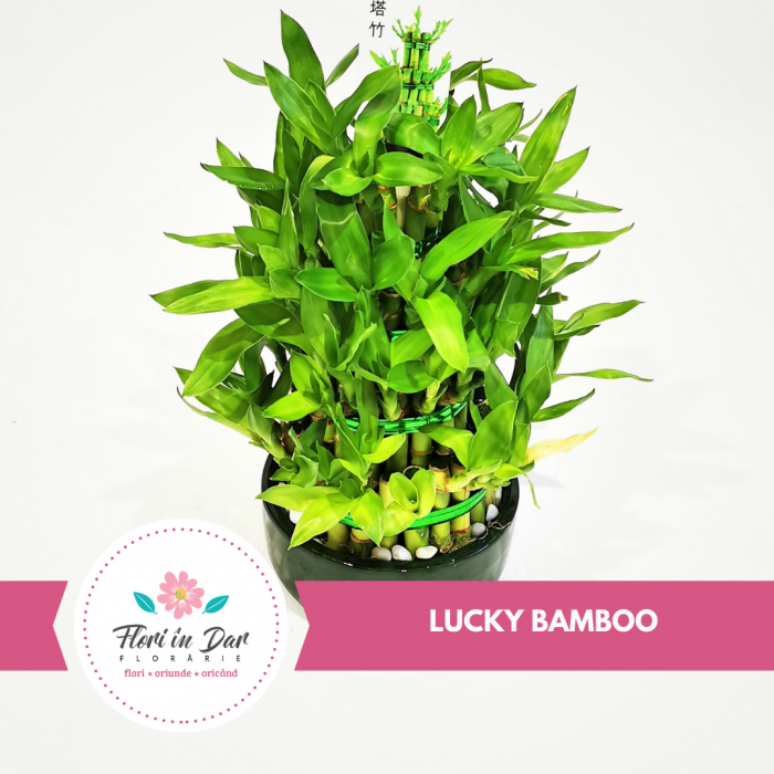 Bambus cu noroc - lucky bamboo [0]
