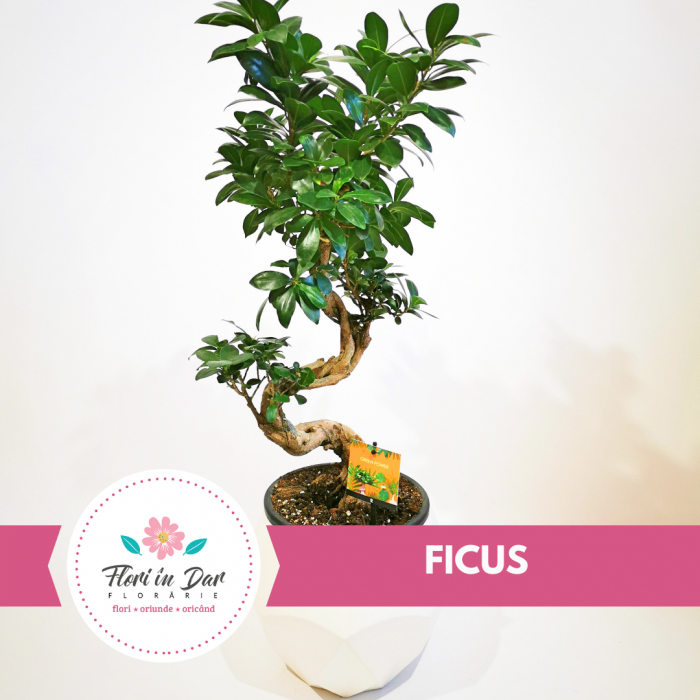 Bonsai Ficus floraria Flori in Dar Roman [0]