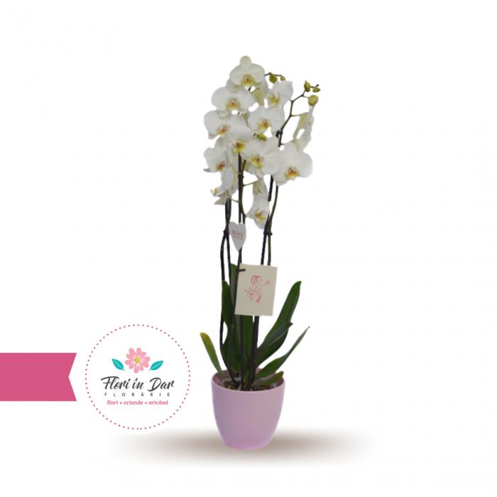 orhidee cu 3 tije  in vas ceramic florarie Roman [0]