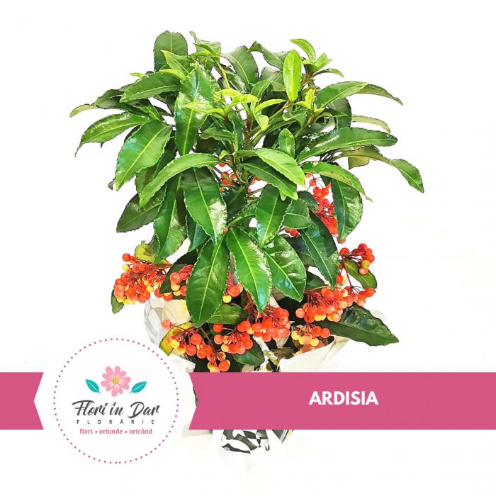 Ardisia planta ornamentala [0]