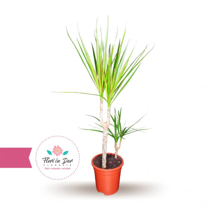 Planta Dracaena 2 tije [0]