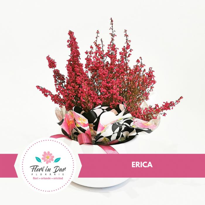 Planta Erica floraria Fori in Dar Roman [0]