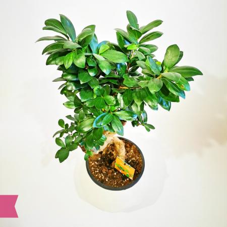 Bonsai Ficus floraria Flori in Dar Roman [1]