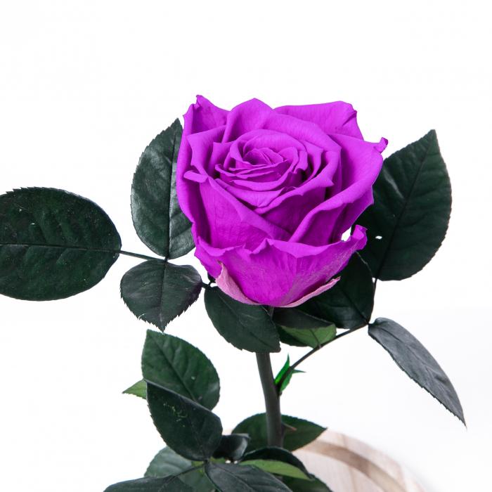 Trandafir Criogenat Mov [0]