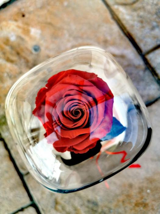 Trandafir Criogenat [1]