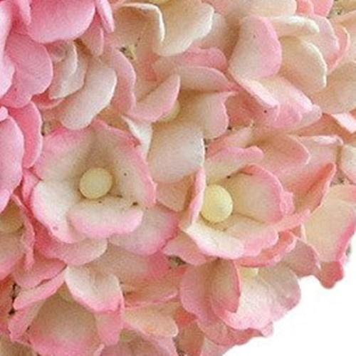 roz-alb - floare de cires