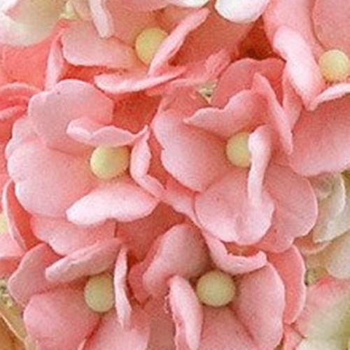 roz prafuit - floare de cires