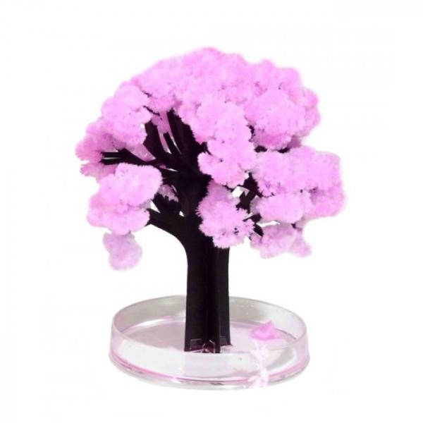 Cires Sakura infloritor 1