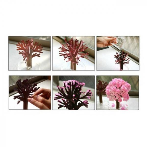 Cires Sakura infloritor 3