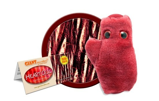 Celula Cardiaca 2