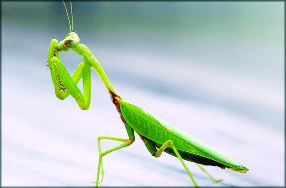 Insecta calugarita 1