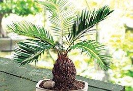Palmier Sago 1