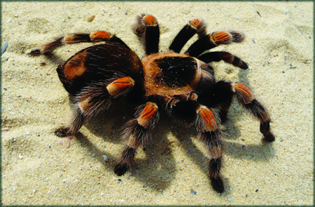 Tarantula1