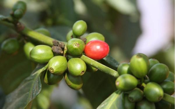 Cafea Kenya washed Arabica AA Plus Kijani Kiboko [0]