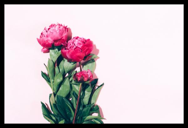 Tablou modern pe panou - pink peony 0