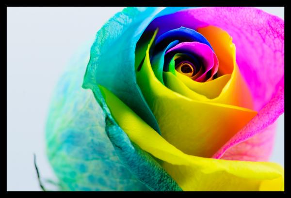 Tablou modern pe panou - multicolored rose 0