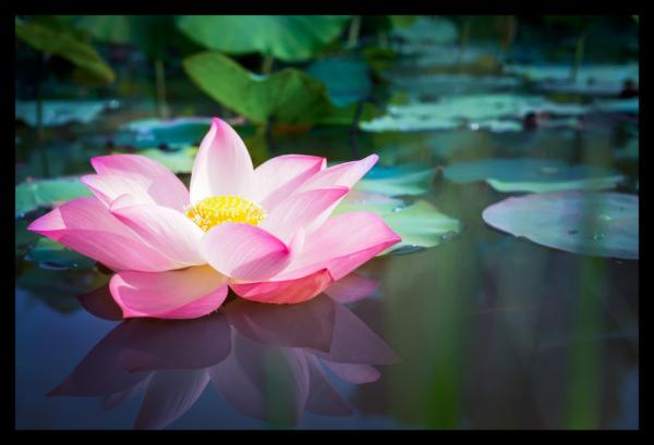 Tablou modern pe panou - pink lotus flower 0