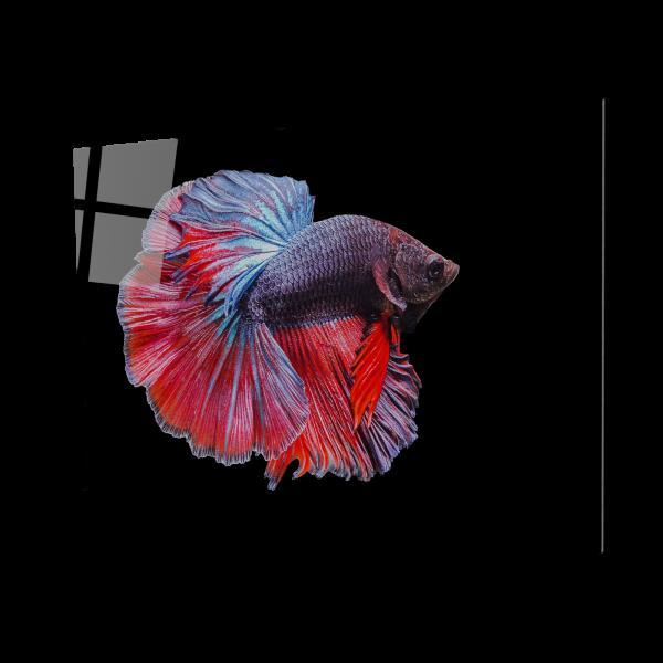 Tablou din sticla acrilica - betta siamese fighting fish [0]