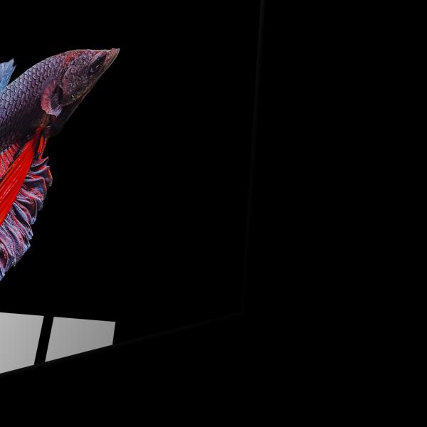 Tablou din sticla acrilica - betta siamese fighting fish [1]