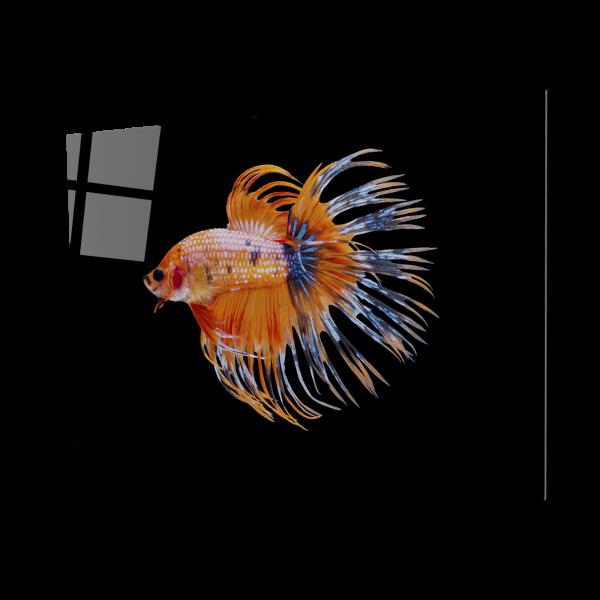Tablou din sticla acrilica - orange siamese fighting fish 0