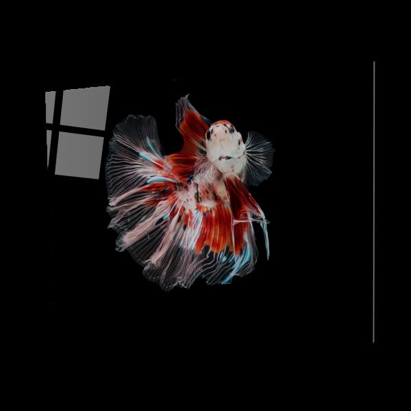 Tablou din sticla acrilica - siamese fighting fish 0