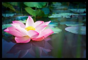 Tablou modern pe panou - pink lotus flower0