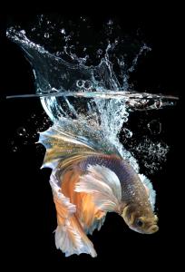 Tablou modern pe panou - fish splashes water0