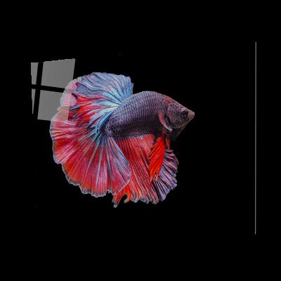 Tablou din sticla acrilica - betta siamese fighting fish0