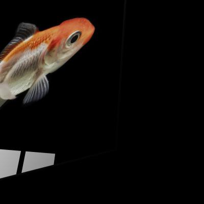 Tablou din sticla acrilica - beautiful orange fish1