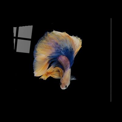 Tablou din sticla acrilica - halfmoon betta fish [0]