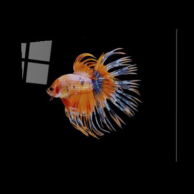 Tablou din sticla acrilica - orange siamese fighting fish0