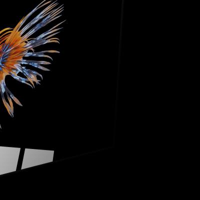 Tablou din sticla acrilica - orange siamese fighting fish1
