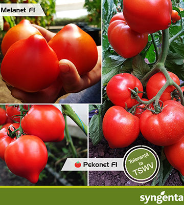 Seminte tomate Syngenta