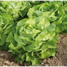 Semințe de salată LOBELA 1