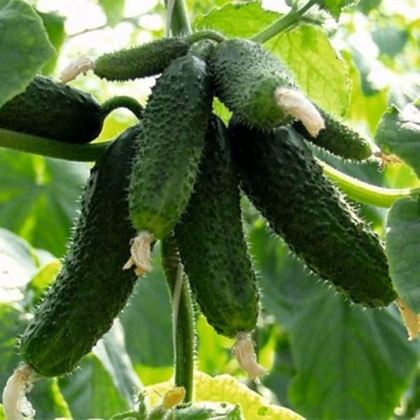 Semințe de castraveți Amour F1 0