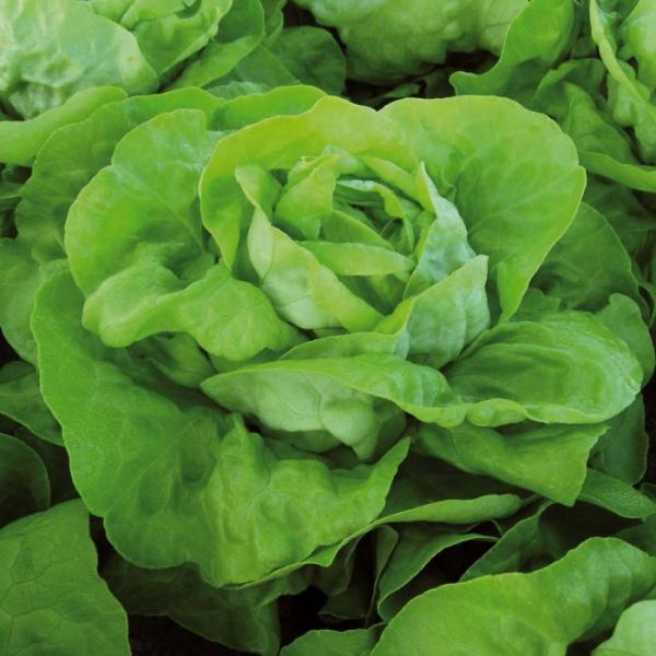 Semințe de salată Analena 0