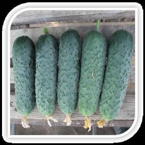 semințe-de-castraveți-balkan-f1 [0]