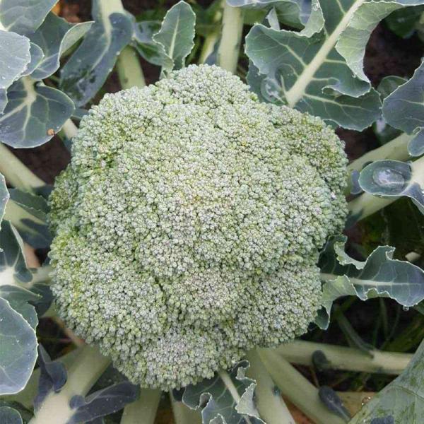 Semințe de broccoli  Belstar F1 - 1.000 semințe 0