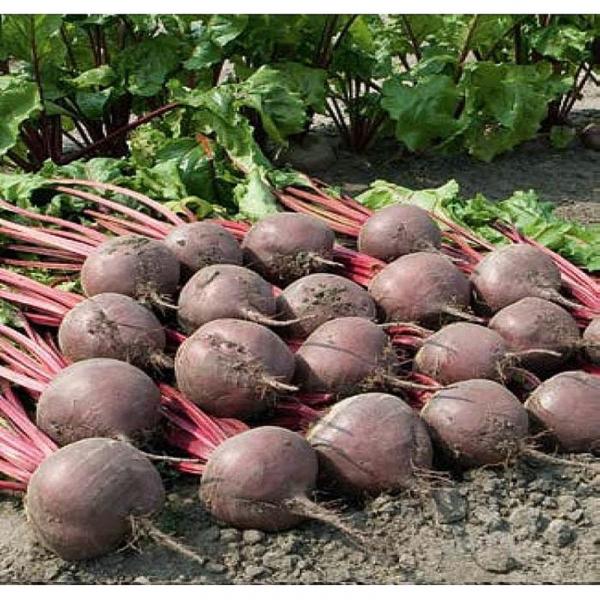 Semințe de sfeclă roșie Boro F1 - diverse ambalaje [1]