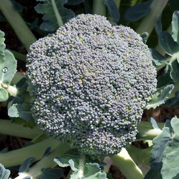 Semințe de broccoli Fiesta F1 - 1.000 semințe 0