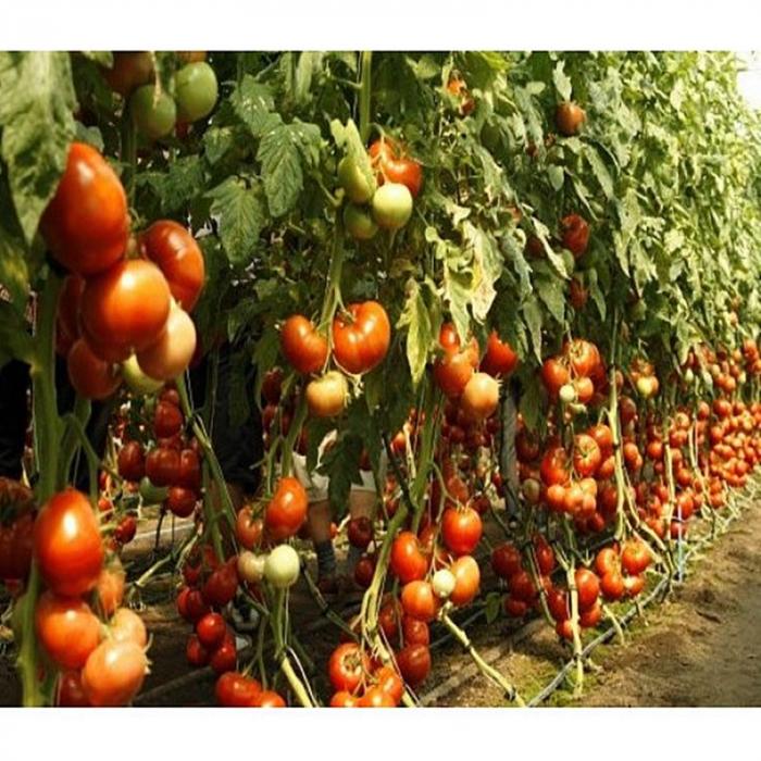 Seminte de tomate Mahitos F1 [0]