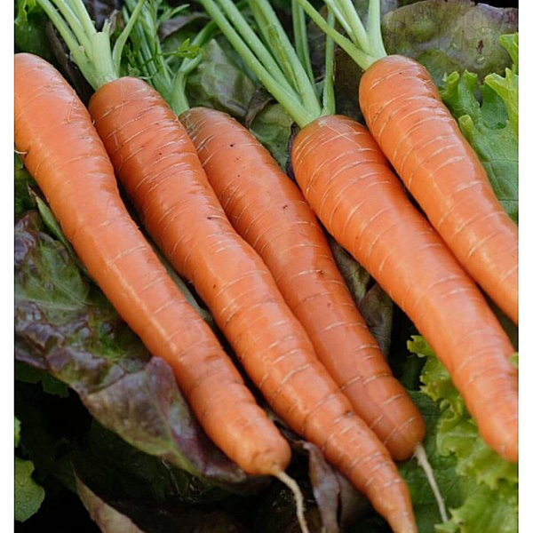 Semințe de morcovi Napoli F1 0