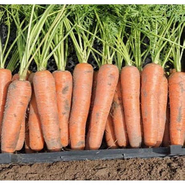 Semințe de morcovi Niagara F1 0