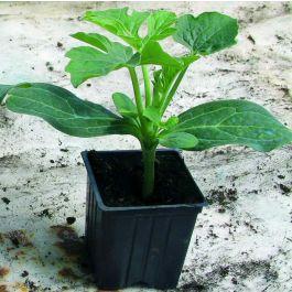 Semințe de portaltoi de pepeni Nimbus F1 0