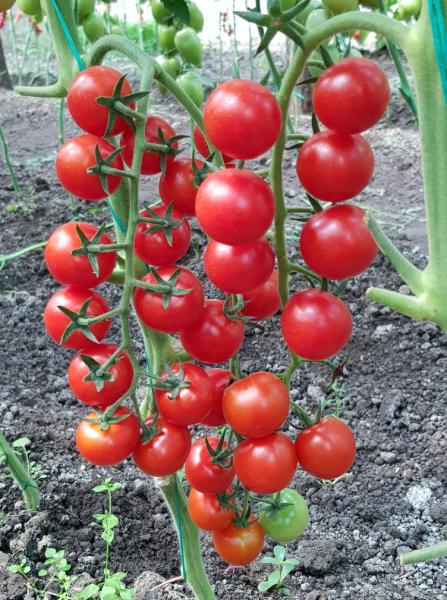 Seminte de tomate Prolina F1, tip cherry (500 semințe) 0