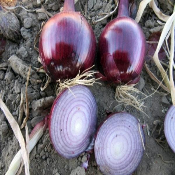 Semințe de ceapă roșie Robin - 10.000 semințe [0]