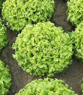 Salată FUZILA - 5000 semințe drajate 0